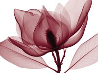 Red Magnolia I (oversize) Fine Art Print