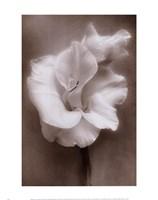 Gladiolus White Fine Art Print