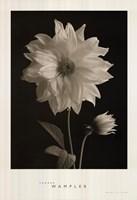 Dahlia Bud Framed Print