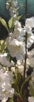 White Roses V by Rick Novak - various sizes