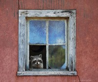 Raccoon Window Fine Art Print