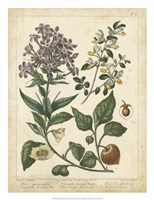 "Non-Embellish Enchanted Garden II by Sydenham Edwards - 20"" x 26"", FulcrumGallery.com brand"