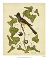 Crest. Fly-Catcher, Pl. T52 Fine Art Print
