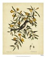 Cates. Black-capt Flycatch. Pl. T53 Fine Art Print