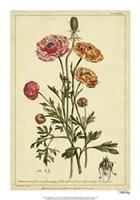 "Ranunculus, Pl. CCXVI by Phillip Miller - 14"" x 20"""