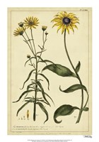 """Rudbeckia and Coreopsis, Pl. CCXXIV by Phillip Miller - 14"""" x 20"""""""