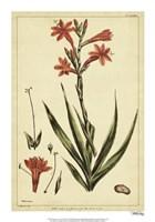Watsonia, Pl. CCLXXVI Fine Art Print