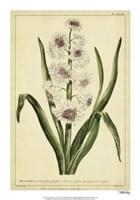 "Hyacinthus, Pl. CXLVIII by Phillip Miller - 14"" x 20"""