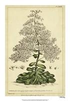 """Saxifraga, Pl. CCXLIII by Phillip Miller - 14"""" x 20"""" - $18.99"""