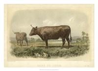Vache De Devon Fine Art Print