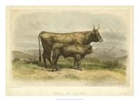 Vache De Salers Fine Art Print