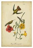 "Audubon Mango Hummingbird by John James Audubon - 26"" x 38"""