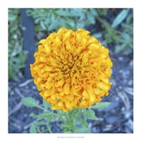 "18"" x 18"" Marigolds Pictures"
