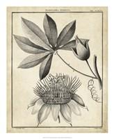 Passiflora II Fine Art Print
