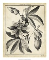 Passiflora III Fine Art Print