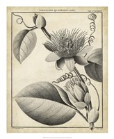 Passiflora IV Fine Art Print