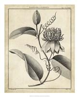 Passiflora V Fine Art Print