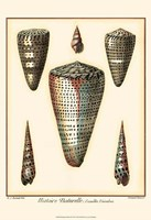 Redoute Shells II Fine Art Print