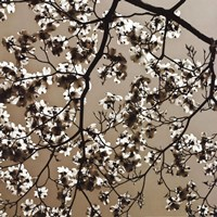 Dogwood Square II Fine Art Print