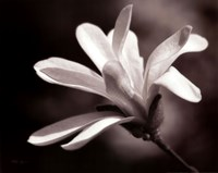 Magnolia Dreams II Fine Art Print