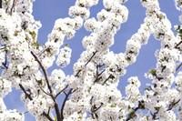 Blossom Sky Fine Art Print