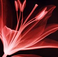 Lilium Radiance Fine Art Print