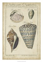 Vintage Shell Study II Fine Art Print