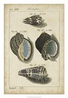 Vintage Shell Study III Fine Art Print