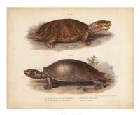"Antique Turtle Pair II by Vision Studio - 22"" x 18"""