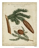 Antique Conifers III Fine Art Print