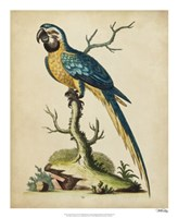 Edwards Parrots II Fine Art Print