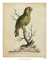 """Edwards Parrots III by George Edwards - 18"""" x 22"""""""