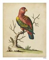 "Edwards Parrots IV by George Edwards - 18"" x 22"""