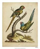 """Edwards Parrots V by George Edwards - 18"""" x 22"""""""