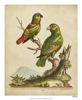 "Edwards Parrots VI by George Edwards - 18"" x 22"""