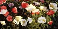 "Morden s Blush by Shirley Novak - 40"" x 20"""