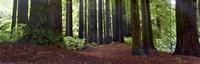 "36"" x 12"" Redwood"