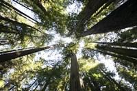 Redwoods Framed Print