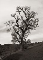 Tree 3 B&W by Christopher Bliss - various sizes