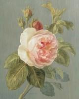 Heirloom Pink Rose by Danhui Nai - various sizes