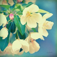 Natures Apple Blossom Fine Art Print