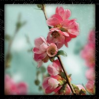 Quince Blossoms III by Sue Schlabach - various sizes
