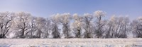Cottonwood trees covered with snow, Lower Klamath Lake, Siskiyou County, California, USA Fine Art Print