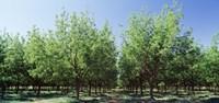 USA New Mexico Tularosa Pecan Trees