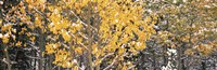 """Aspen trees in autumn, Grand Teton National Park, Wyoming, USA by Panoramic Images - 27"""" x 9"""""""