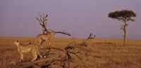 """View of two Cheetahs in the wild, Africa by Panoramic Images - 27"""" x 9"""""""