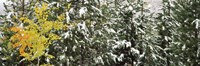 "Trees covered with snow, Grand Teton National Park, Wyoming, USA by Panoramic Images - 27"" x 9"""