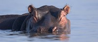 """Close-up of a hippopotamus submerged in water by Panoramic Images - 27"""" x 9"""""""
