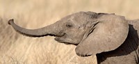 """Close-up of a African elephant calf at play by Panoramic Images - 27"""" x 9"""""""