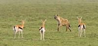 "Three Gazelle fawns (Gazella thomsoni) and a Spotted hyena (Crocuta crocuta) in a field, Ngorongoro Conservation Area, Tanzania by Panoramic Images - 27"" x 9"""